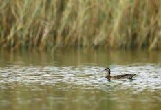 Garganey duck Royalty Free Stock Photos