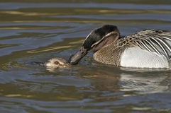 Garganey Ducks mating Royalty Free Stock Photos