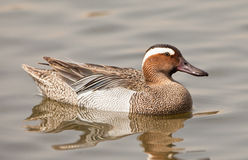 A Garganey male Stock Image