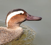 A Garganey male duck´s portrait Stock Photo