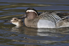 Garganey Pair mating Royalty Free Stock Photos