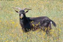 Gargano goat grazing Stock Photos