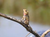 Garganta del rojo del camaleón Imagen de archivo