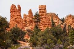 Garganta vermelha na floresta nacional de Dixie fotografia de stock