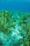 Gargonia Unterwasser Stockbilder