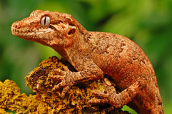 Gargoyle gecko Stock Photography