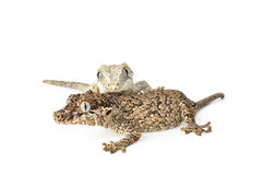 Gargoyle Gecko. On white background stock photo