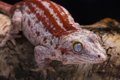 Gargoyle gecko. Rhacodactylus auriculatus Gargoyle gecko on the tree royalty free stock photo