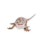 The gargoyle, New Caledonian bumpy gecko on white Royalty Free Stock Image