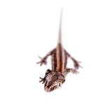 The gargoyle, New Caledonian bumpy gecko on white Royalty Free Stock Images
