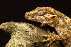 Garguleca gekon w profilu (Rhacodactylus auriculatus) Obrazy Stock