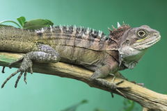 Gariau forest dragon Royalty Free Stock Photography