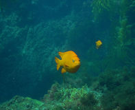 Garibaldi. In Kelp Forest at Long Point, Catalina Island royalty free stock photos