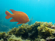 Garibaldi. Fish swimming over reef against blue background royalty free stock photos