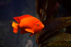 Garibaldi damselfish. Solitary bright orange garibaldi damselfish swimming Stock Photo
