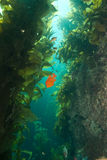 Garibaldi à l'île de Catalina de roche d'oiseau Photos stock