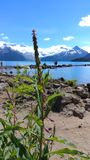 Garibaldi Lake Flower. Lupine with a glacier backdrop Stock Images