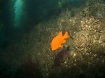 Garibaldi no parque subaquático de Catalina Imagens de Stock Royalty Free