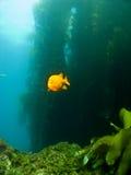 Garibaldi Schwimmen aus dem Kelp in Catalina heraus Stockbilder
