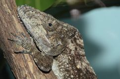 Garidos crested anole Royalty Free Stock Photo