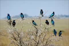 Garland. The group of bright bi of brilliant birds sits on an acacia as a New Year's garland Stock Photo