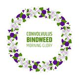 Garland with bindweed flowers. Element for design wreath morning-glory. convolvulus blossom pattern. Vector Stock Images