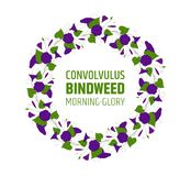 Garland with blue bindweed flowers. Element for design wreath morning-glory. convolvulus blossom pattern. Vector Royalty Free Stock Images