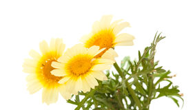 Garland chrysanthemum isolated on white Stock Photos