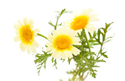Garland chrysanthemum isolated on white Stock Photography