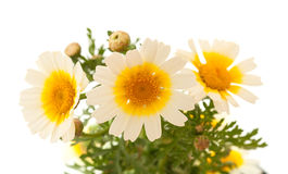 Garland chrysanthemum isolated on white Royalty Free Stock Photo