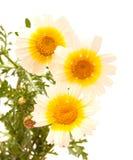 Garland chrysanthemum isolated on white Stock Photography