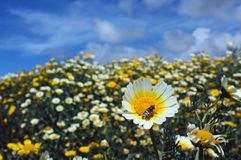 Garland daisy or crown daisy. The garland daisy flowers of yellow center and white edge are in bloom in a meadow of San Diego, California. Glebionis coronaria royalty free stock photos