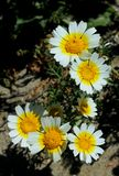 Garland daisy or crown daisy. The garland daisy flowers of yellow center and white edge are in bloom in a meadow of San Diego, California. Glebionis coronaria royalty free stock photo