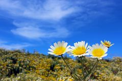 Garland daisy or crown daisy. The garland daisy flowers of yellow center and white edge are in bloom in a meadow of San Diego, California. Glebionis coronaria stock images