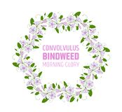 Garland with pink and white bindweed flowers. Wedding element for design wreath morning-glory. convolvulus blossom pattern.  royalty free illustration