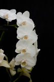Garland of white orchids against a black background Stock Photography