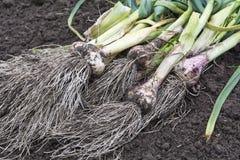 Garlic1 Lizenzfreies Stockfoto