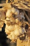Garlic. Fresh organic garlic at the local market royalty free stock image