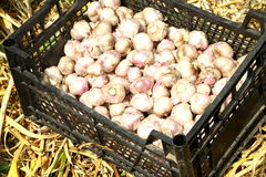 Garlic. Harvest gathered in a drawer for storage Royalty Free Stock Photography