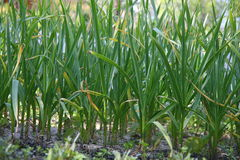 Garlic. Rows of garlic at an organic agriculture farm Royalty Free Stock Photo