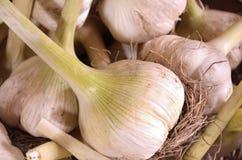 Garlic. Fresh harvest garlic in a wicker basket Stock Photos