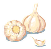Garlic. Composition from garlic. Isolated on white. Vector illustration Stock Images