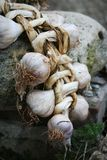 Garlic. Bulbs Stock Image