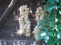garlic Fotografia de Stock