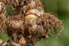 Garlic, Allium sativum. Braided organic raw garlic bulbs. Traditional drying of garlic, Allium sativum Stock Image