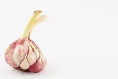 Garlic Allium sativum Stock Image