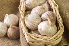 Garlic in a wicker basket. Garlic Allium sativum in a wicker basket royalty free stock photo