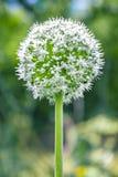 Garlic Allium Ursinum Flower White Royalty Free Stock Photography