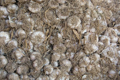 Garlic. Background picture of dried garlic Royalty Free Stock Images