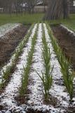 Garlic balk Royalty Free Stock Photo